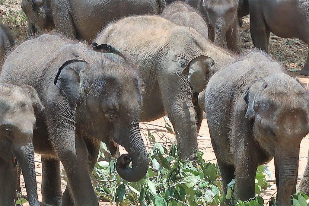 sri lanka op reis, elephant transit home