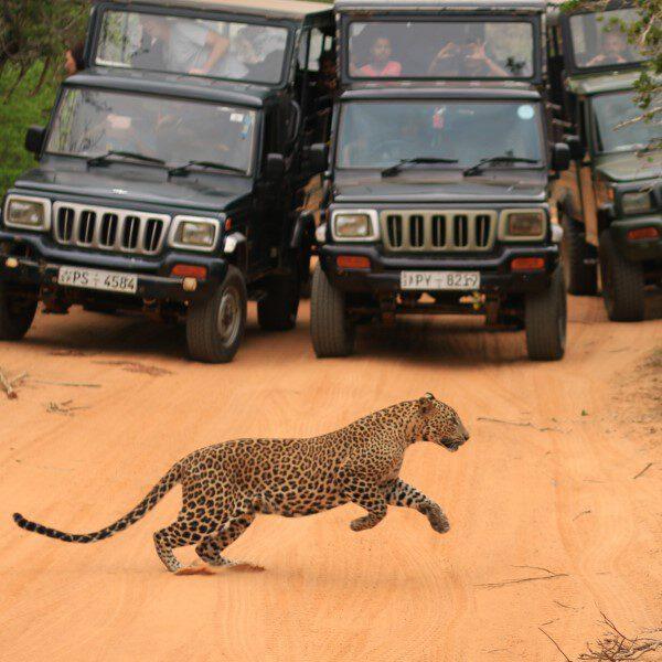 luipaard spingt voor jeeps in Yala NP Sri Lanka